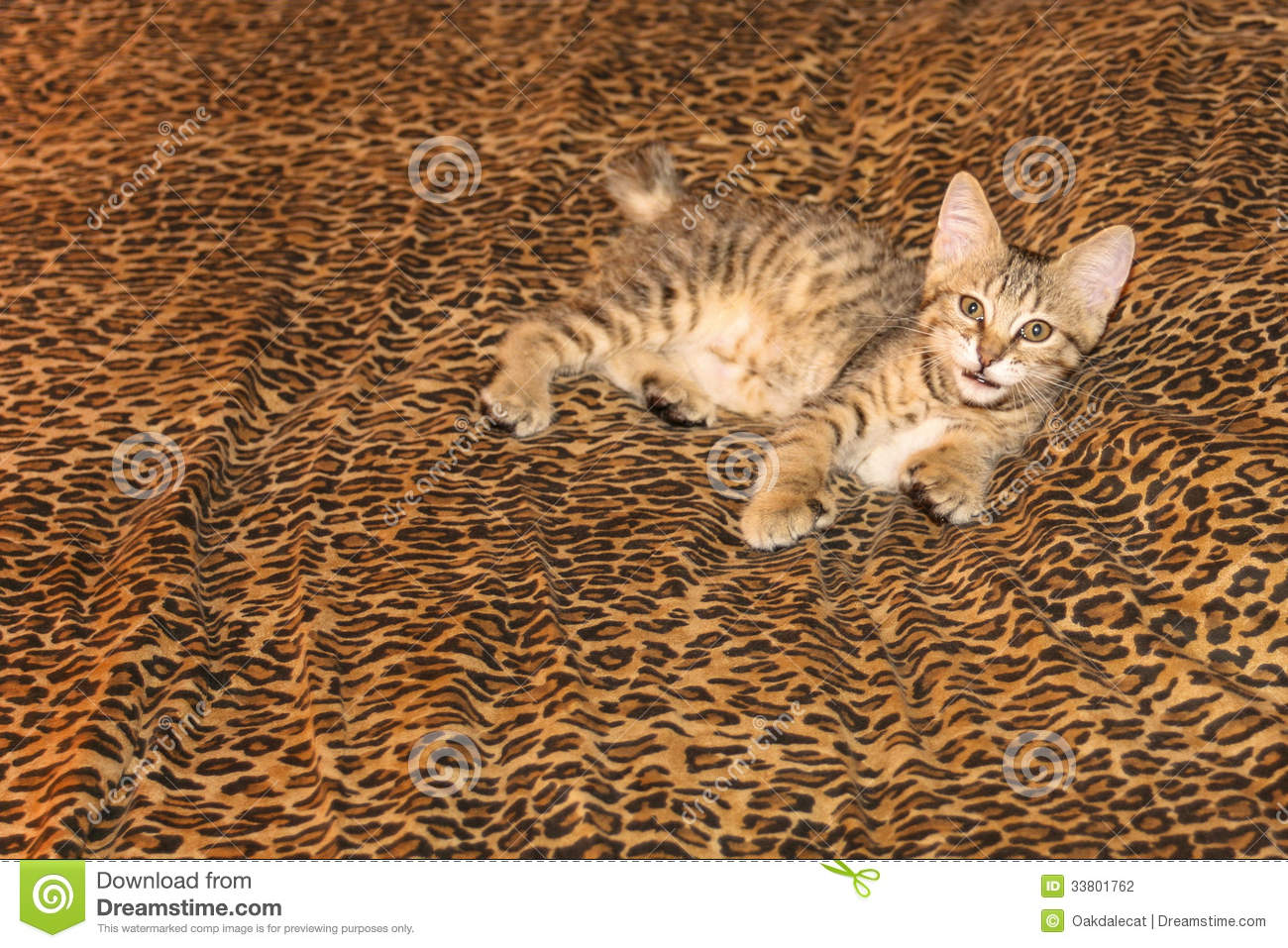Pixie Bob Kitten Leopard Sheets Stock Image