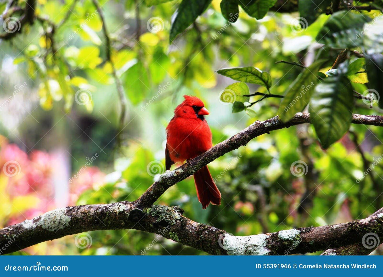 P jaro rojo en un rbol foto de archivo imagen 55391966 for Arbol rojo jardin