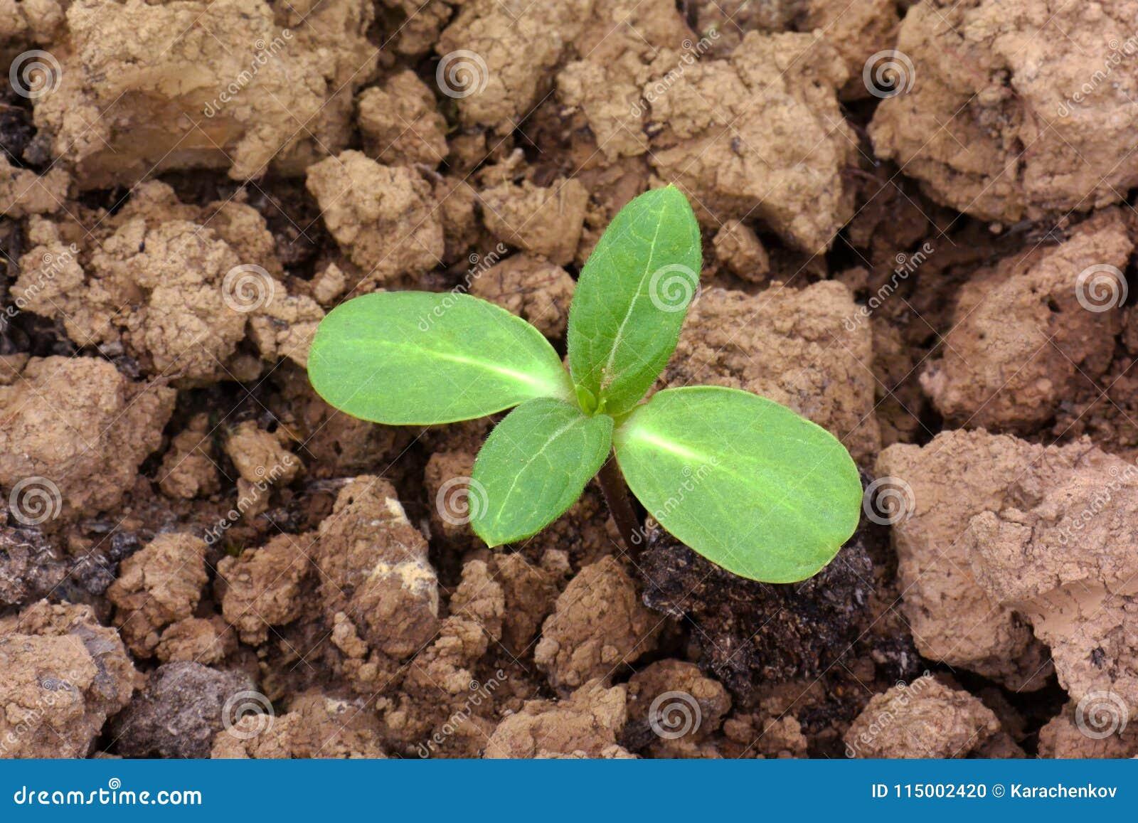 Plântula nova verde da planta que cresce fora do solo unfertile seco