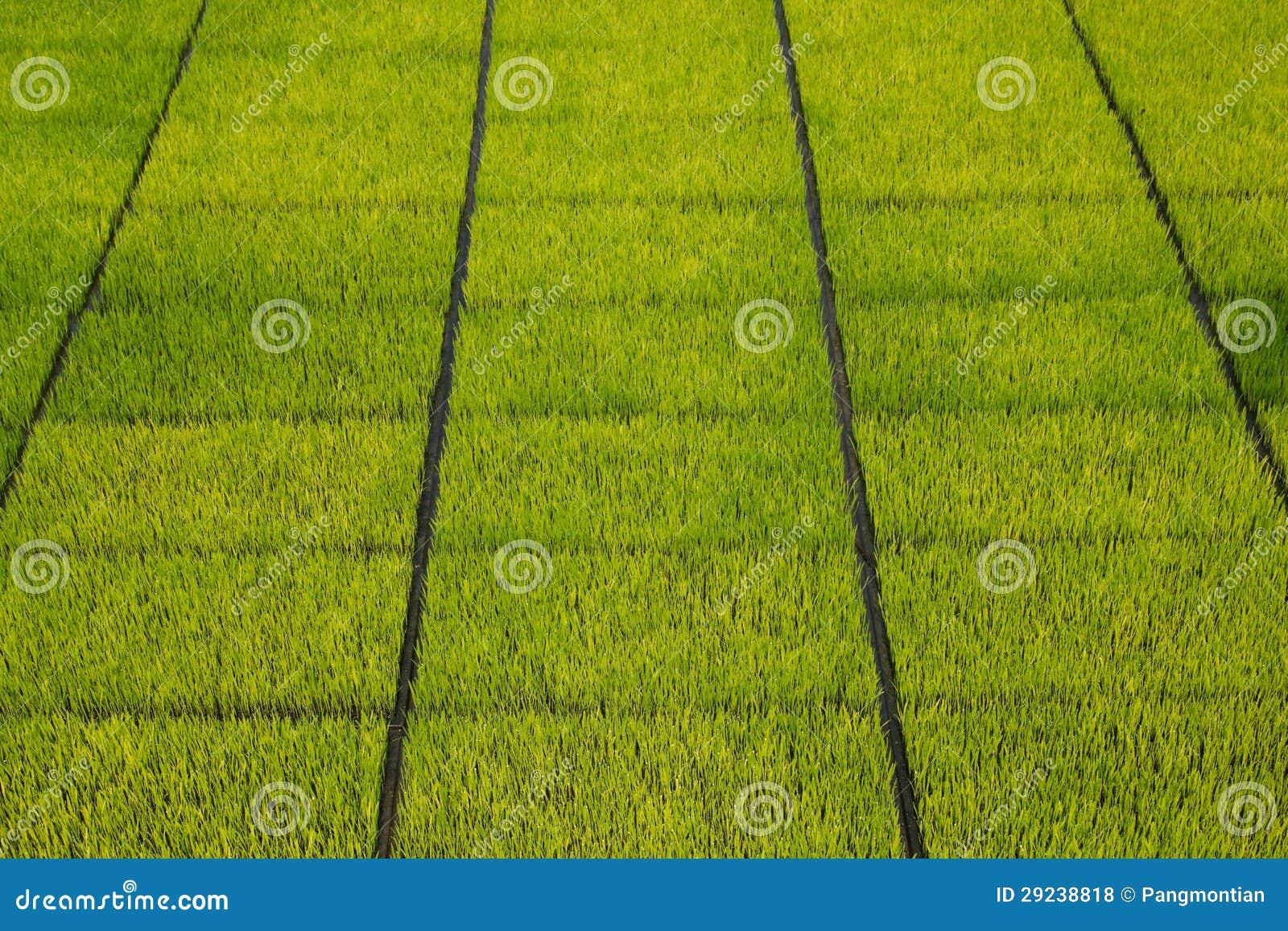 Download Plântulas do arroz foto de stock. Imagem de cena, orgânica - 29238818