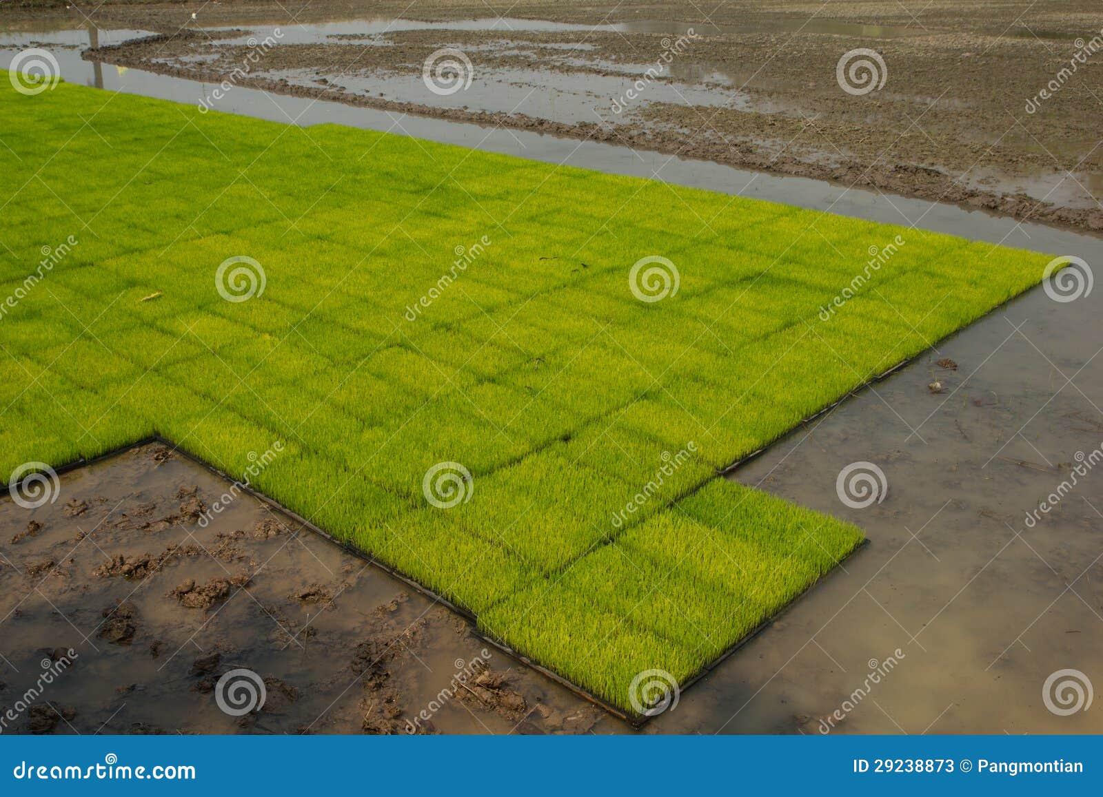 Download Plântulas do arroz imagem de stock. Imagem de fazenda - 29238873
