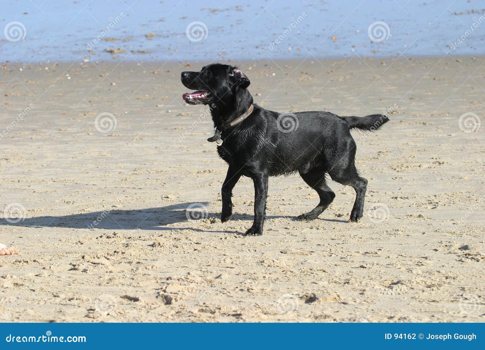 Plażowy pies