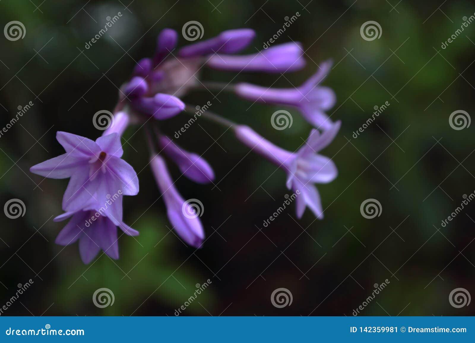 Placer púrpura por verano