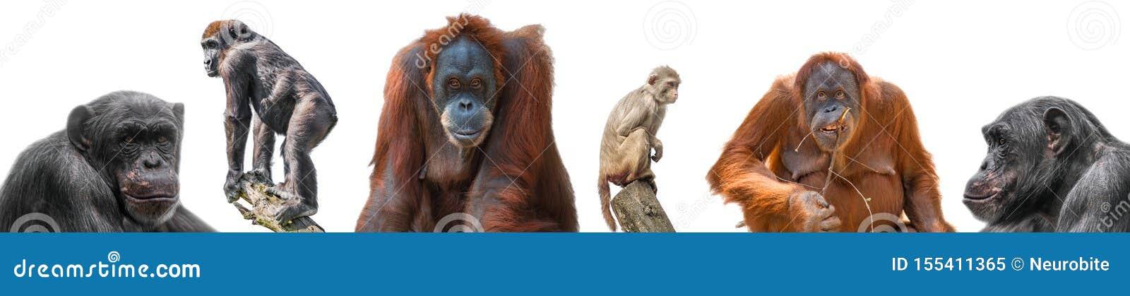 Placez des différents singes comme macaque, orang-outan, gorille et chimpanzé de rhésus d isolement au fond blanc