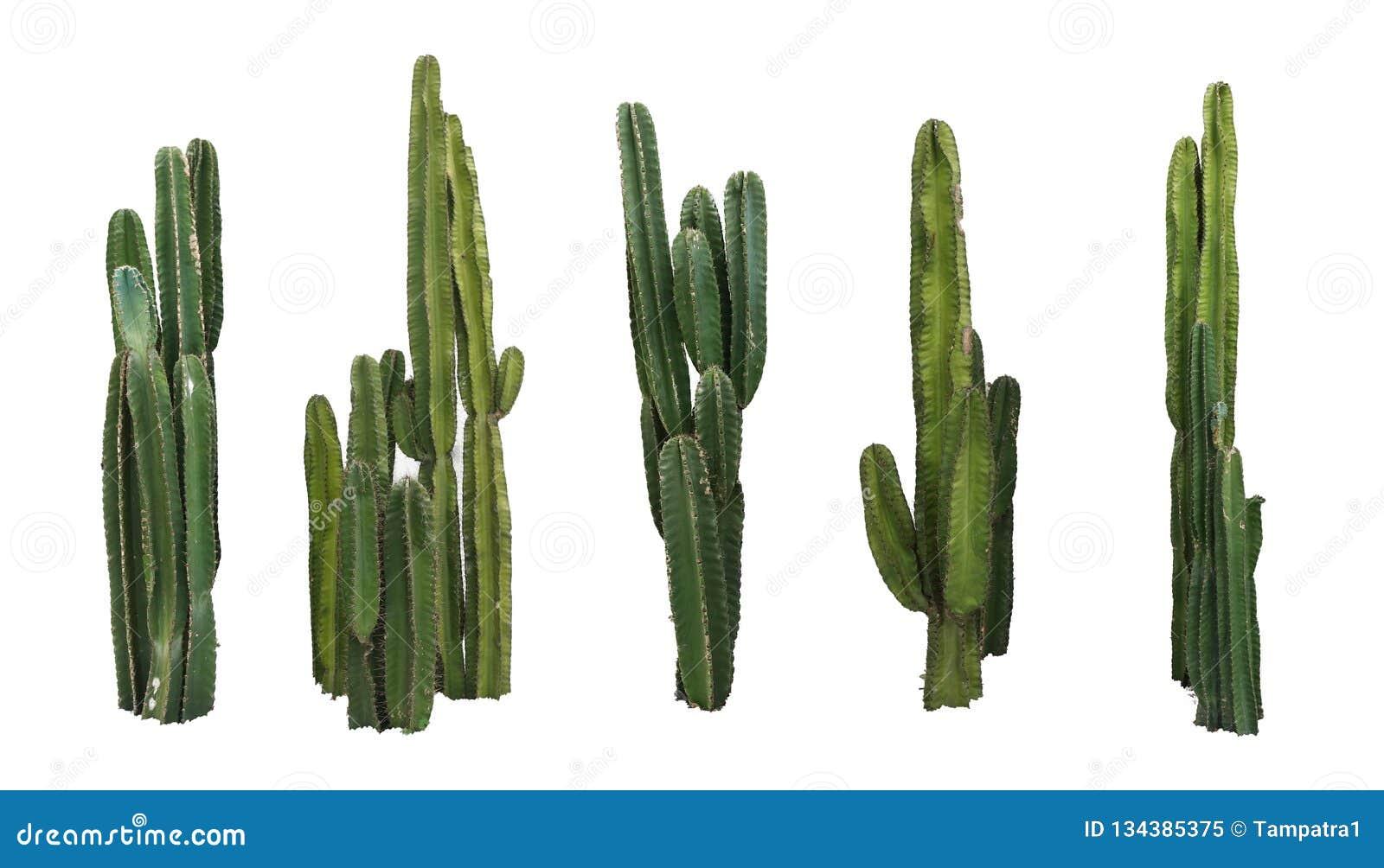 Placez des vraies usines de cactus d isolement sur le fond blanc