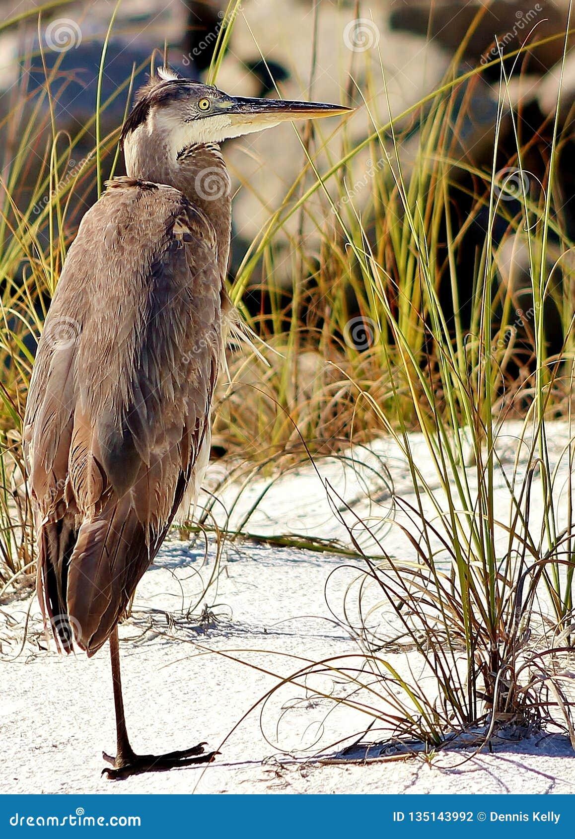 Plage la Floride Shell Island une de Panamá City de héron à jambes