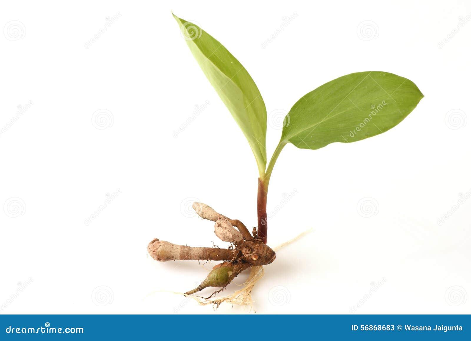 Name Root: Plai (thai Name), Cassumunar Ginger, Bengal Root Zingiber