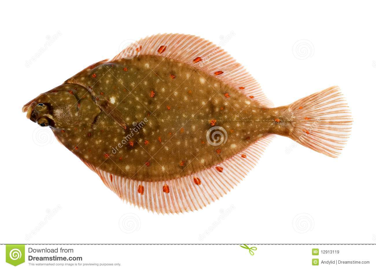 Plaice fish royalty free stock images image 12913119 for Picture of a flounder fish