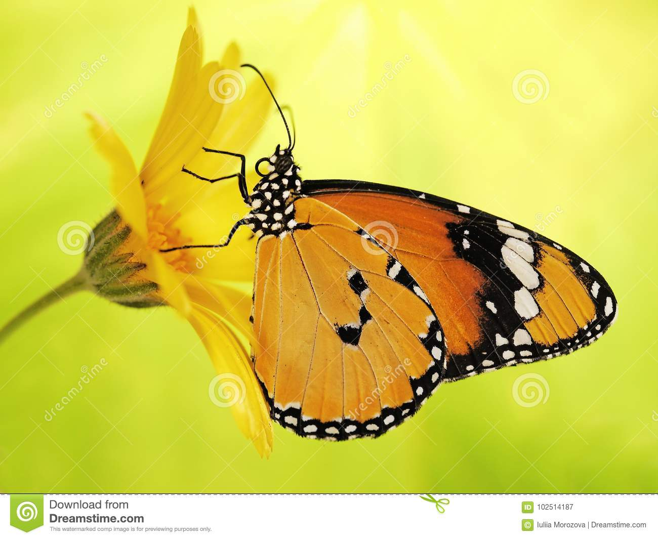 Bright orange plain tiger butterfly, Danaus chrysippus, on a marigold flower on yellow and green blured background.