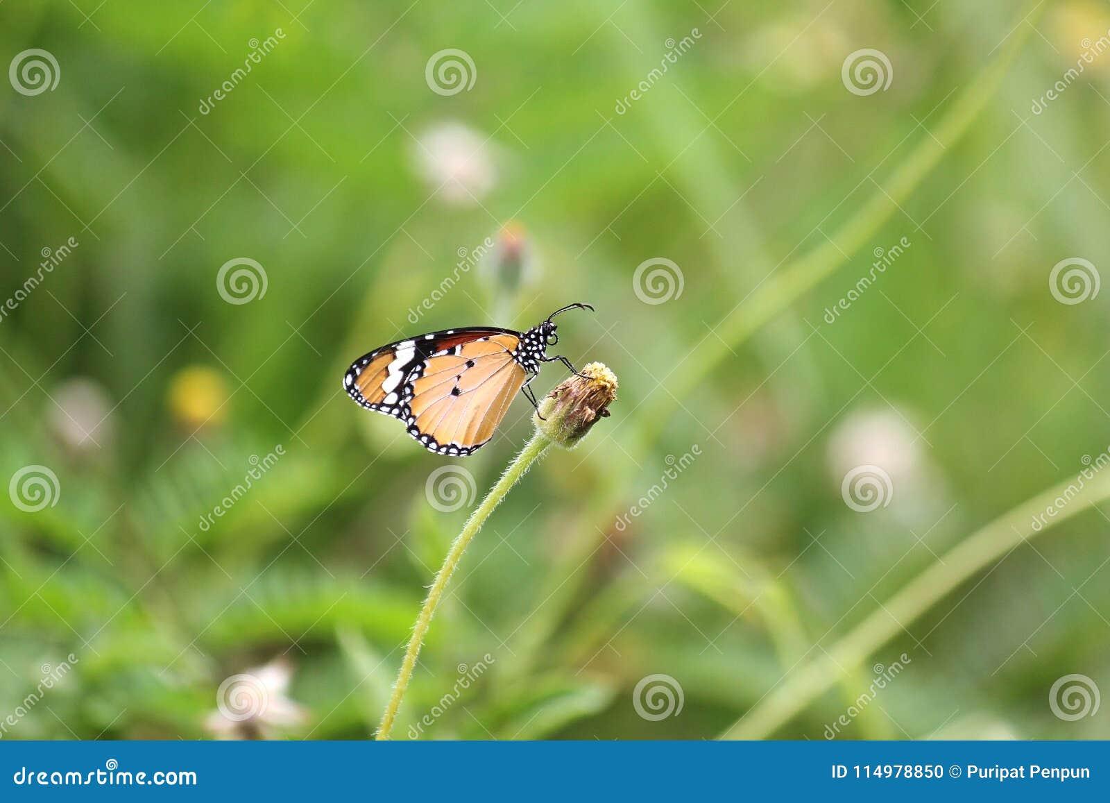 The Plain Tiger Danaus chrysippus chrysippus Linnaeus butterfly