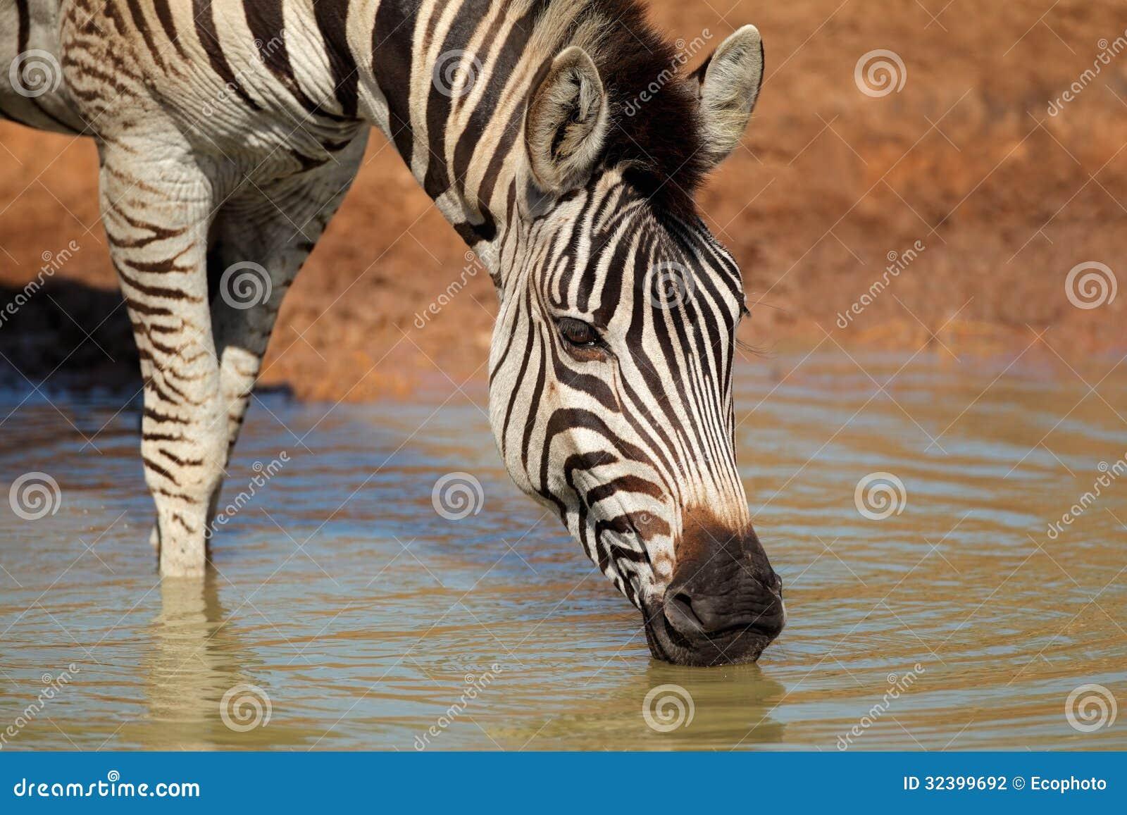 Plains beber da zebra