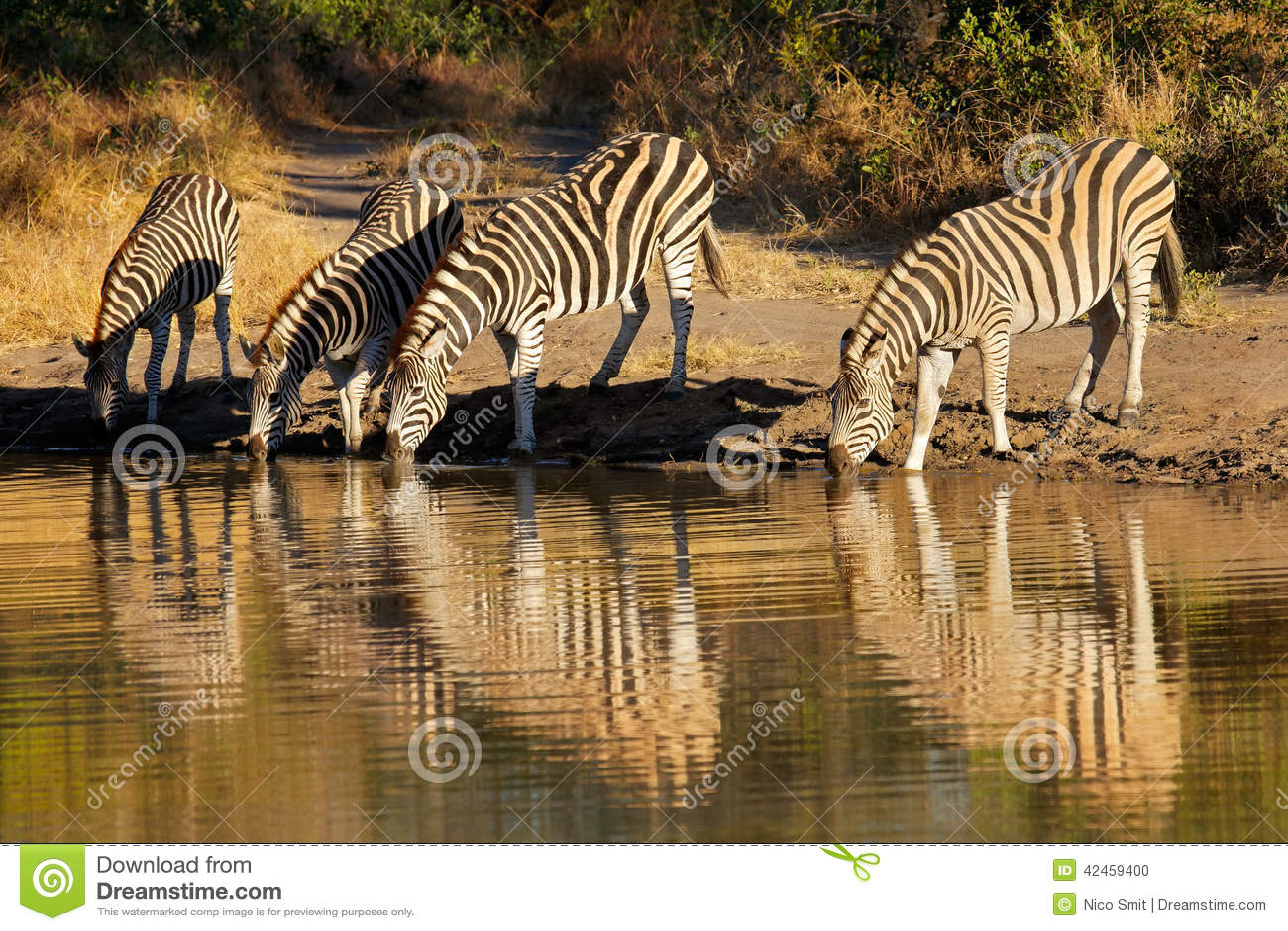 Plains das Zebrastrinken