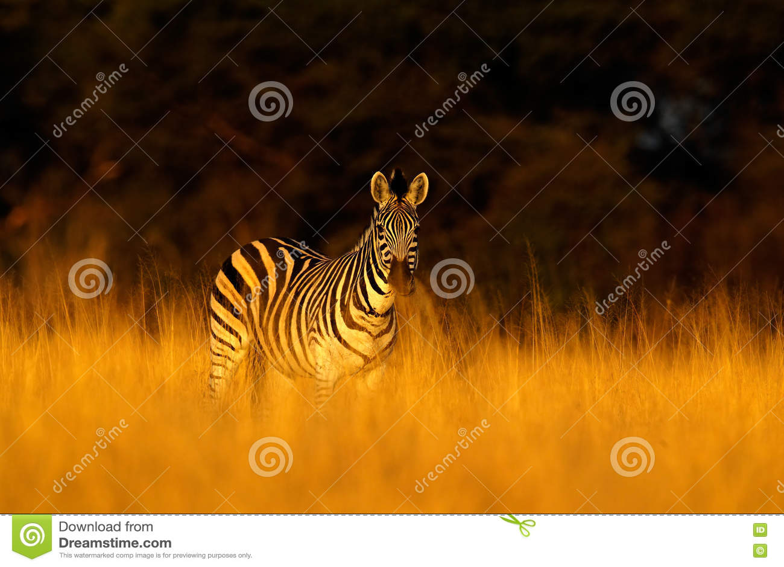 Plains zebra, Equus quagga, in the grass nature habitat, evening light, Hwange National Park Zimbabwe