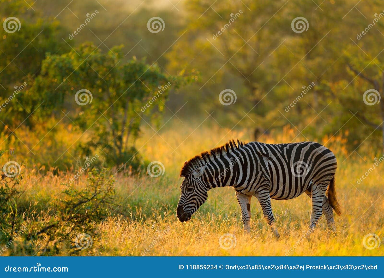 Plains zebra, Equus quagga, in the grassy nature habitat, evening light, Kruger National Park, South Africa. Wildlife scene from A