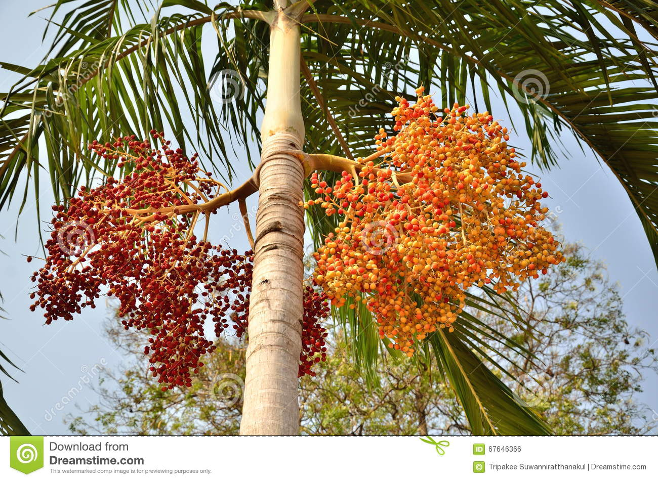 Download Plam plant from asia stock photo. Image of natural, color - 67646366