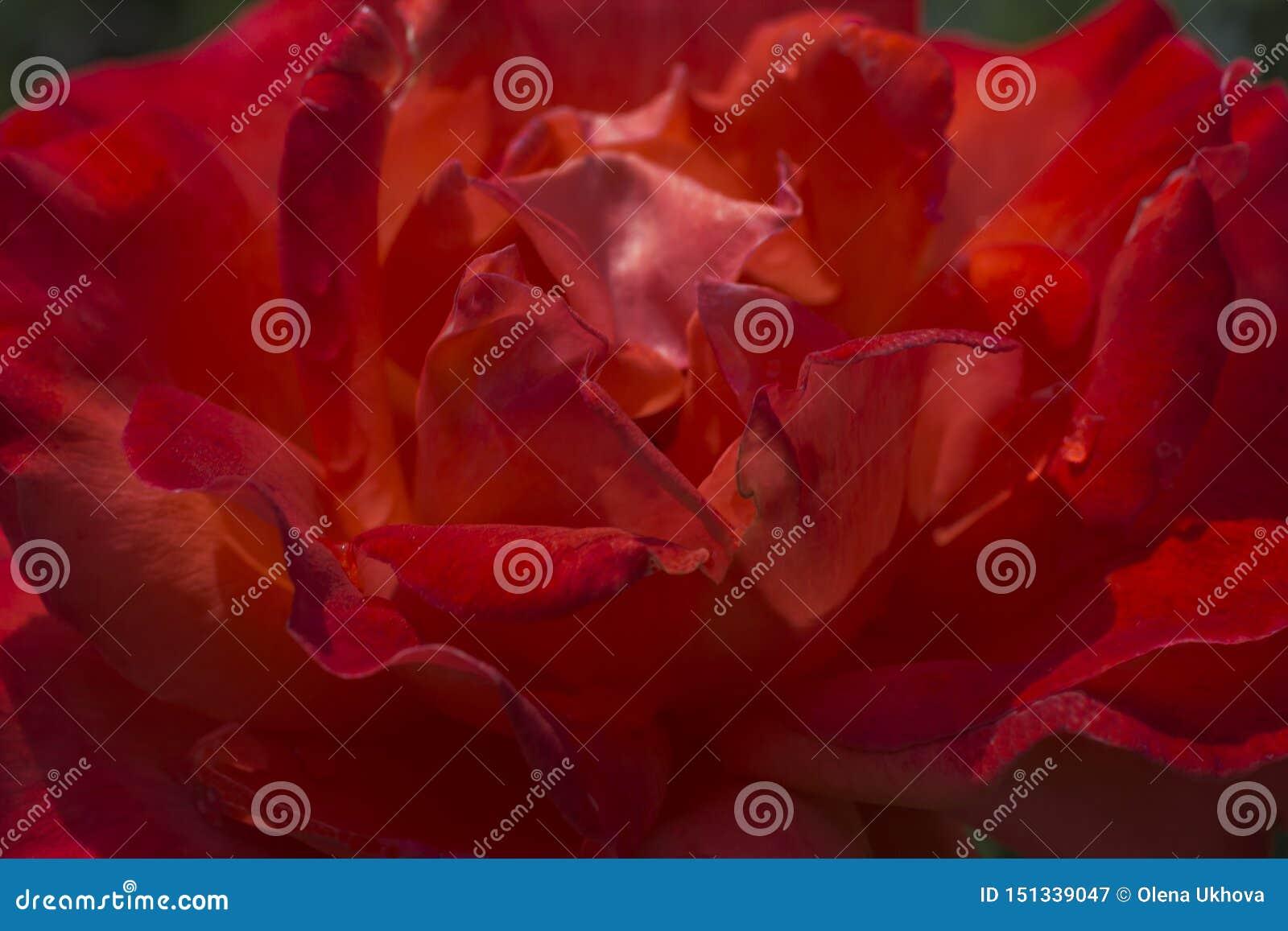 Plama różani płatki, zakończenie w górę, abstrakcjonistyczny tło