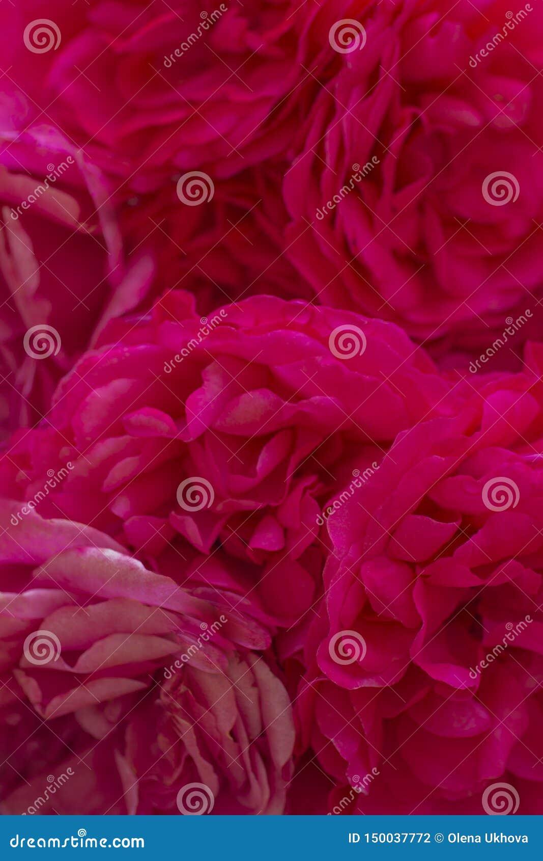 Plama styl dla tła: menchii róży płatki w miękkim kolorze