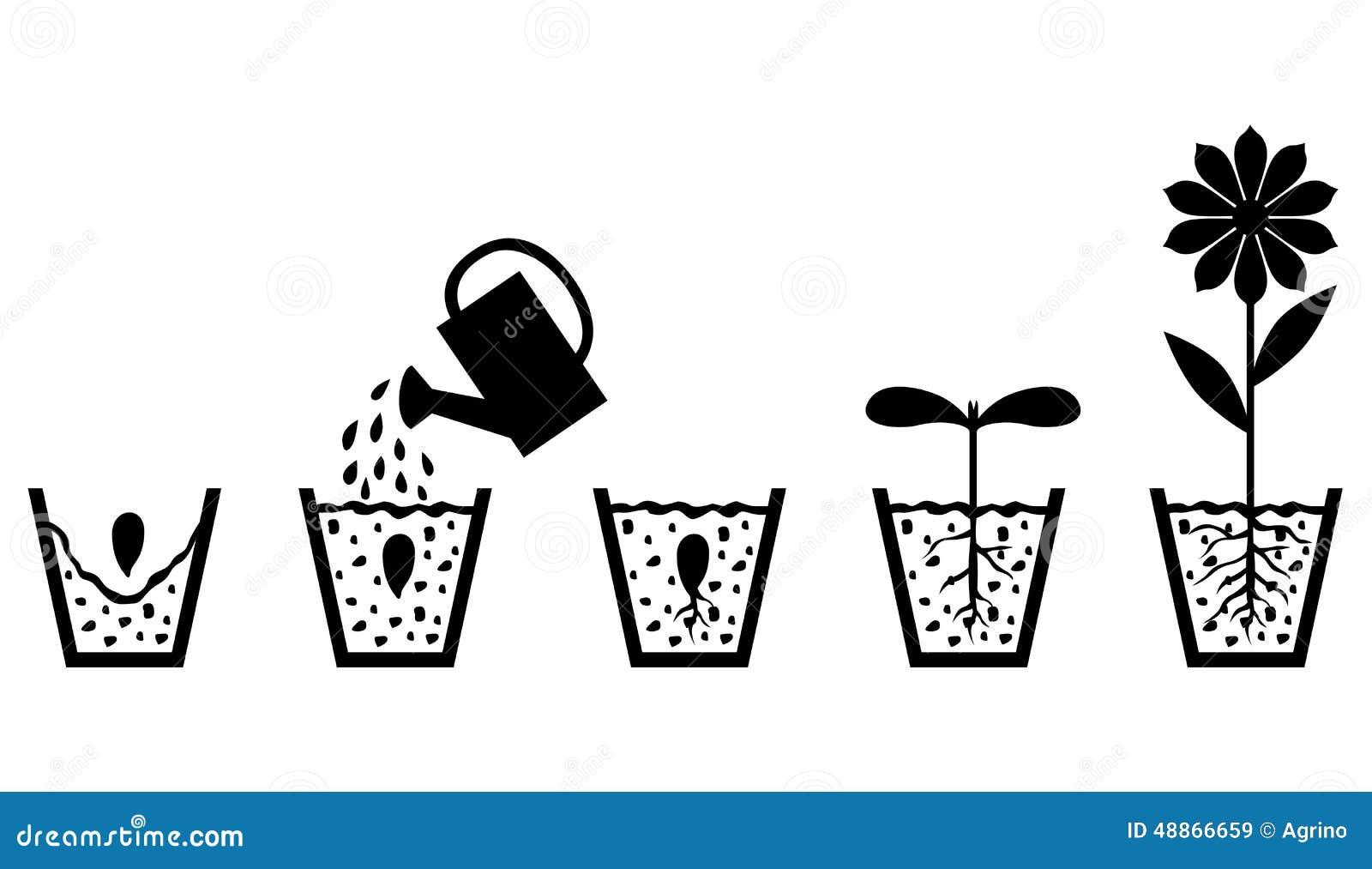 Plan De Croissance De Plantes De Graine à La Fleur