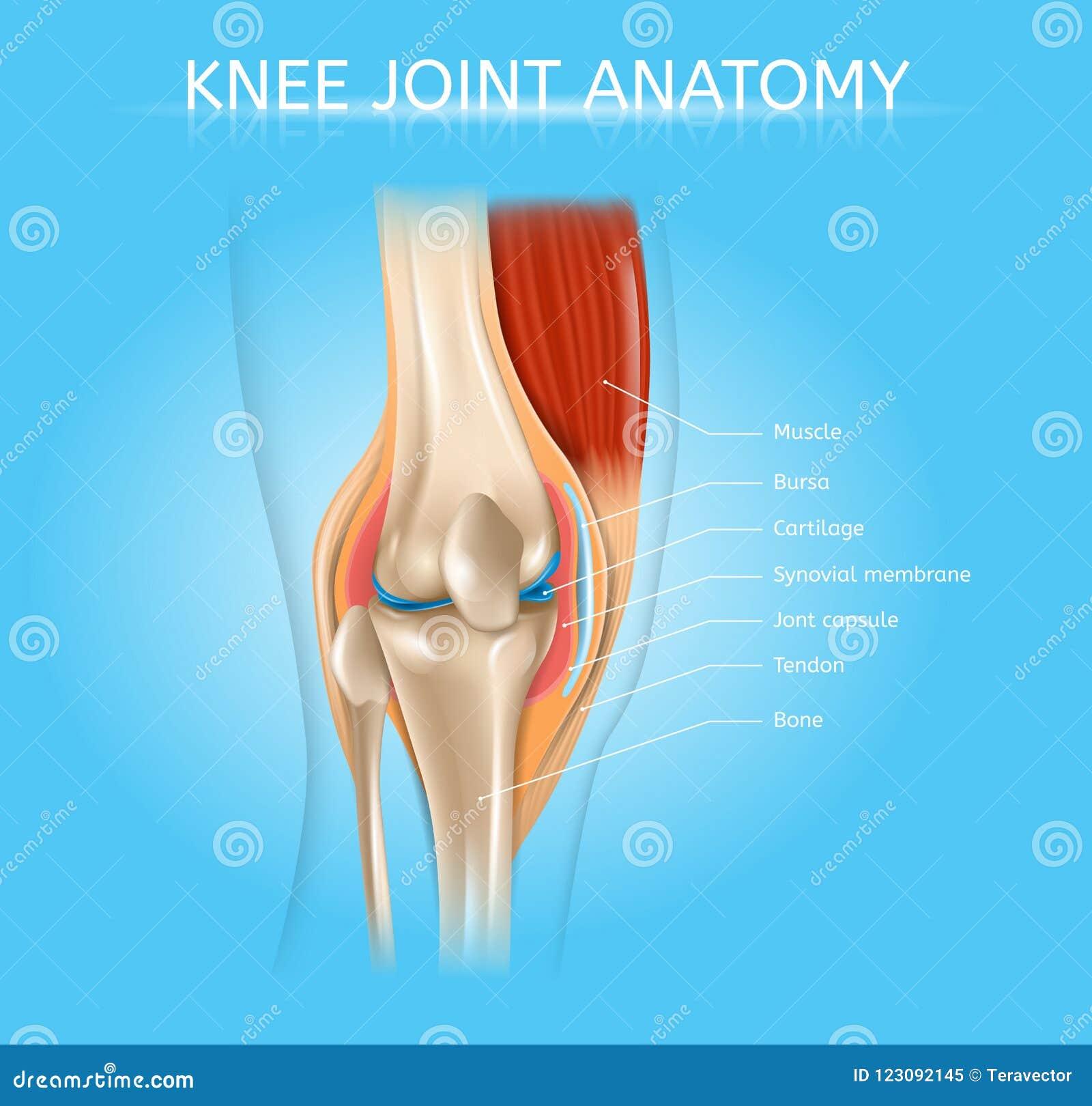 Plan réaliste de vecteur du genou d anatomie humaine d articulation