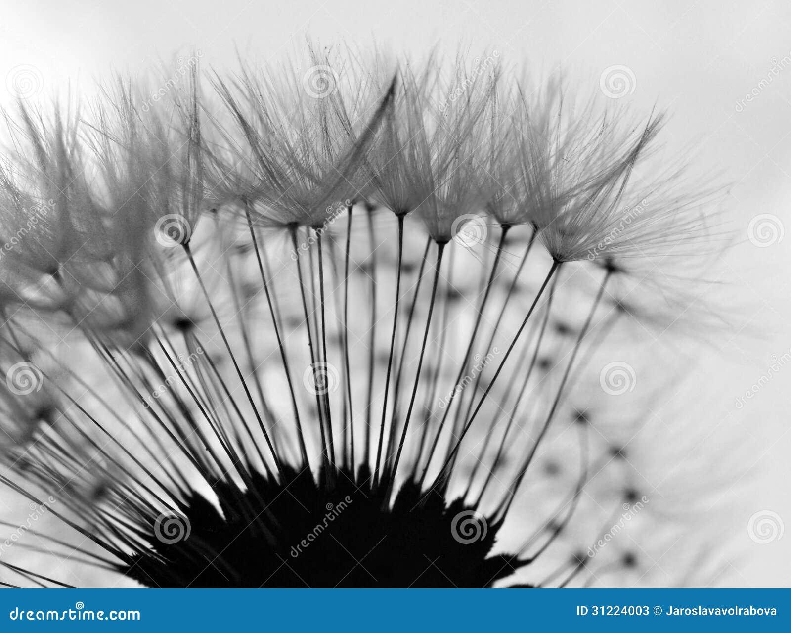 plan rapproch abstrait de pissenlit noir et blanc image stock image du rampant radiant 31224003. Black Bedroom Furniture Sets. Home Design Ideas