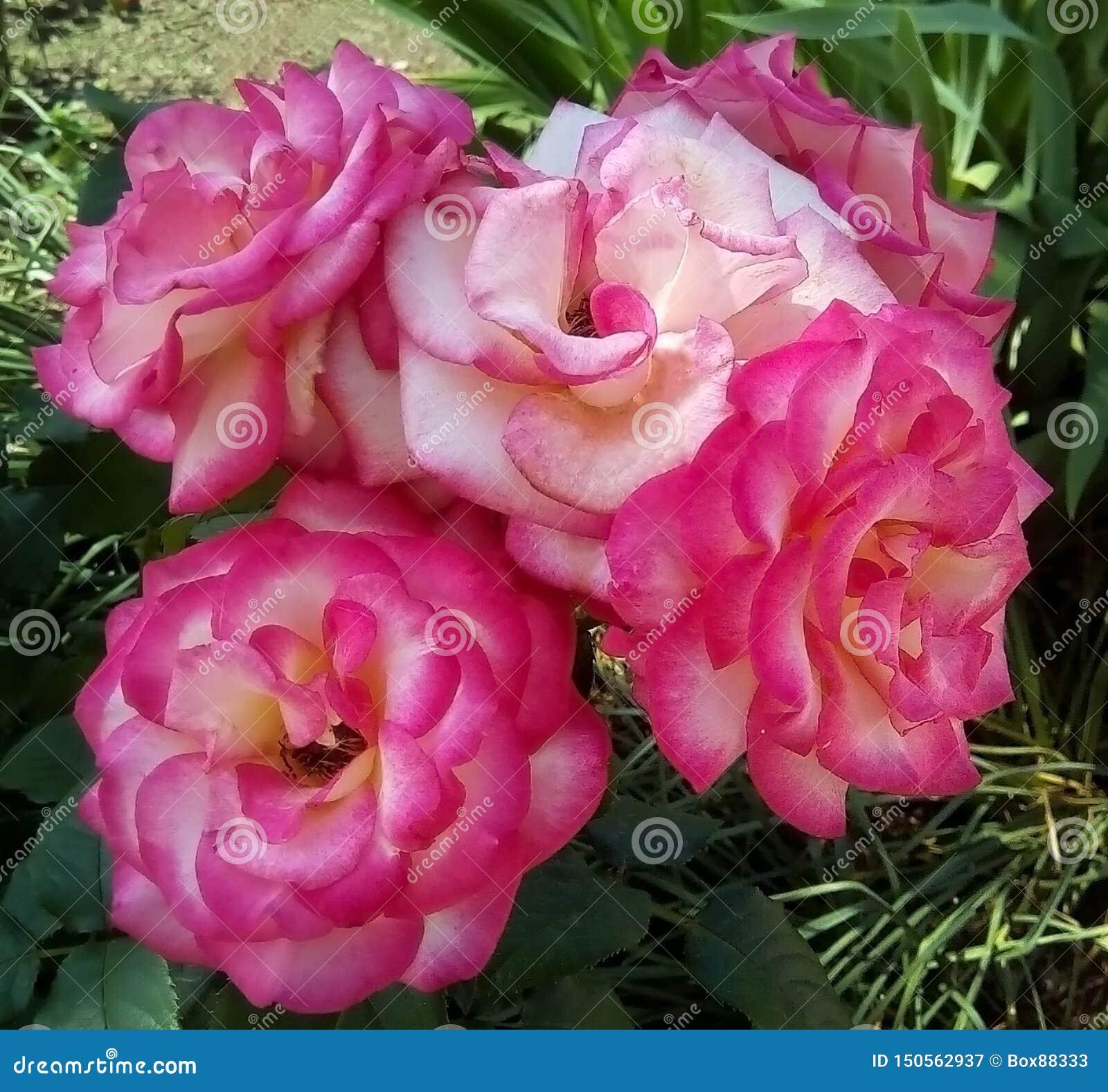 Plan rapproché avec les roses roses et les feuilles vertes sur un fond foncé