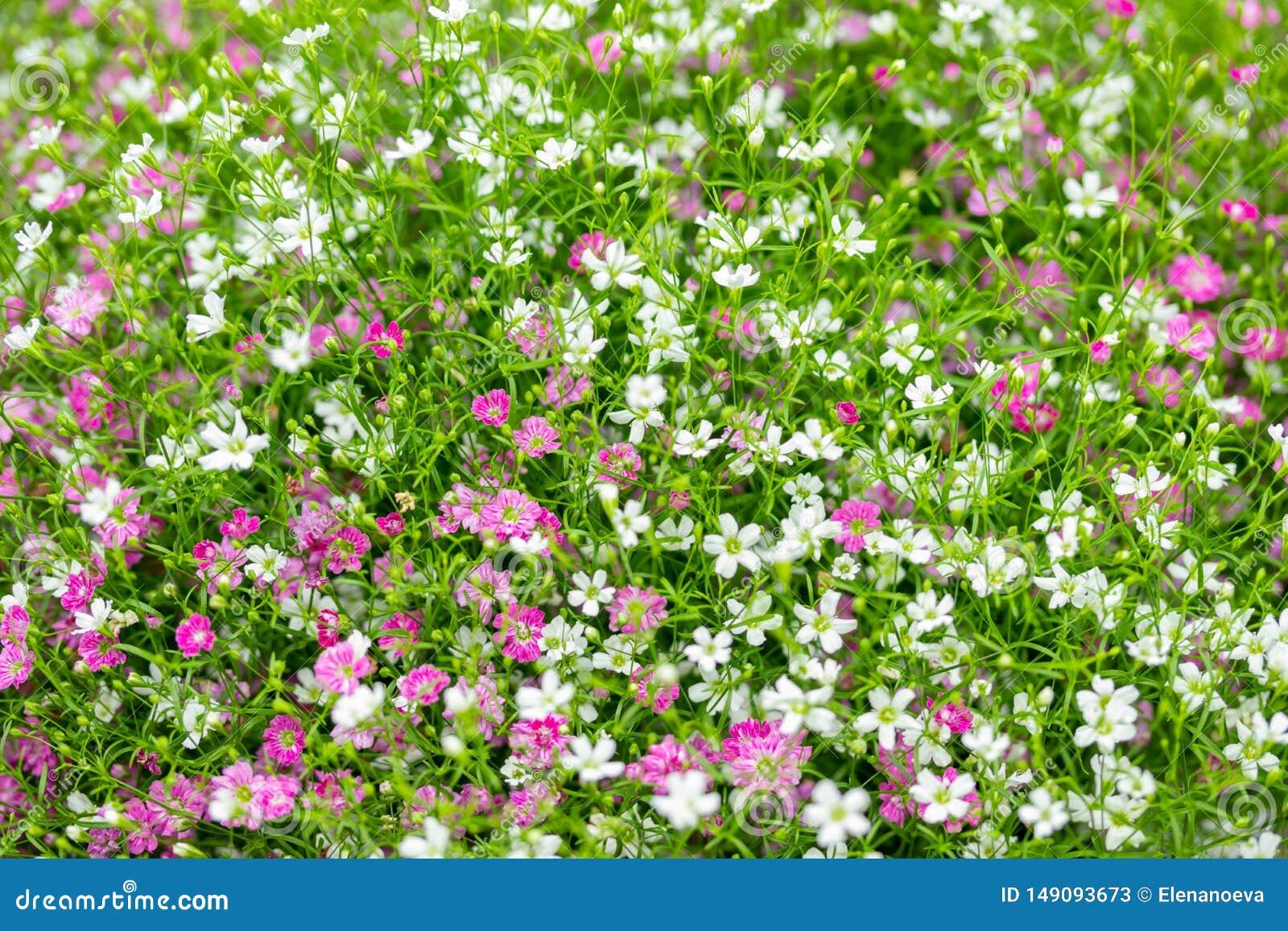 Plan rapproch? beaucoup petit fond de fleurs de rose de gypsophila et blanches