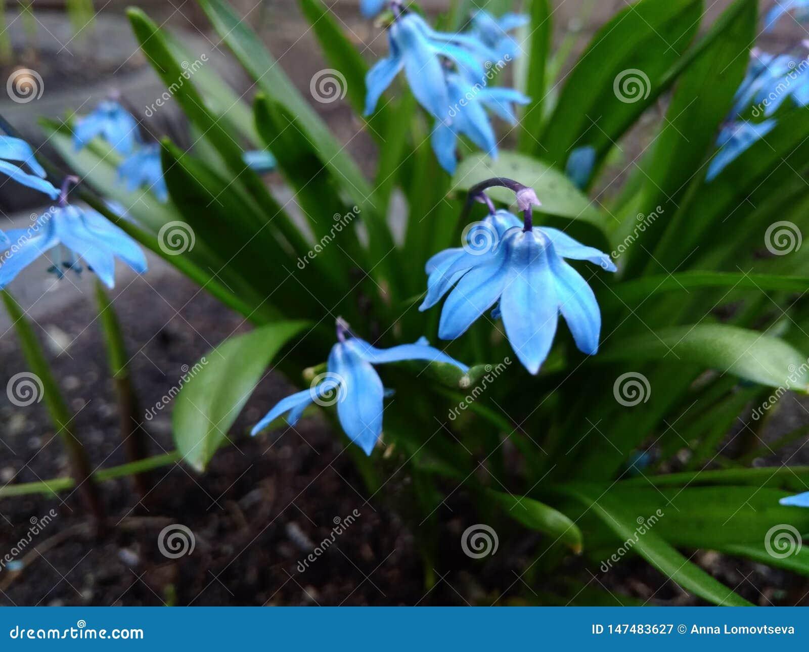 Plan rapproché bleu de Scilla de fleurs de premier ressort