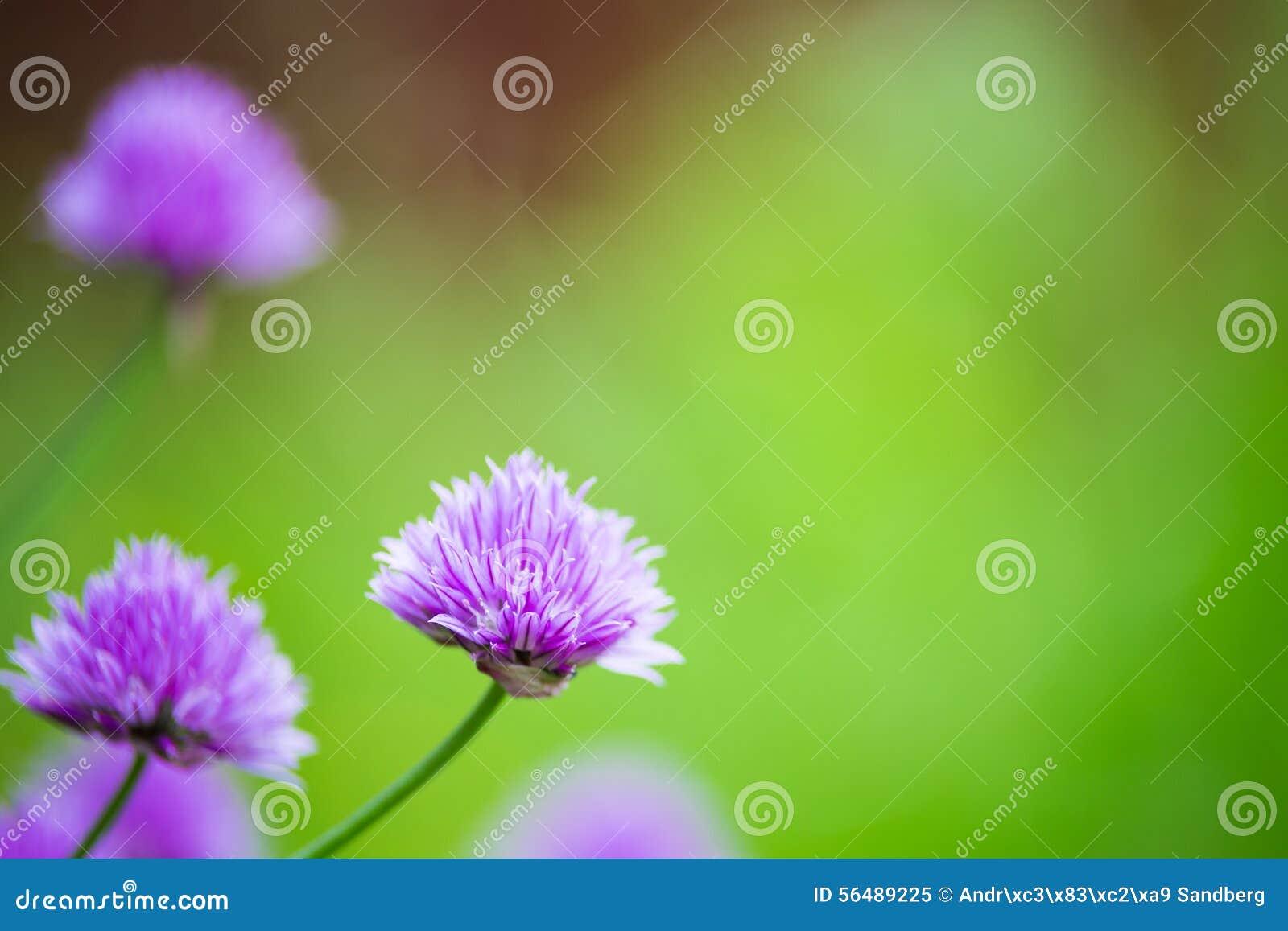 Plan rapproché d allium de floraison avec le fond trouble