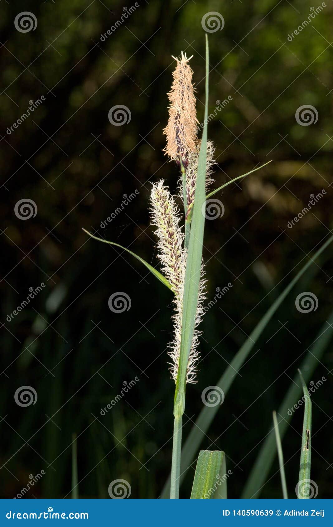 Plan rapproché d herbe avec le pollen