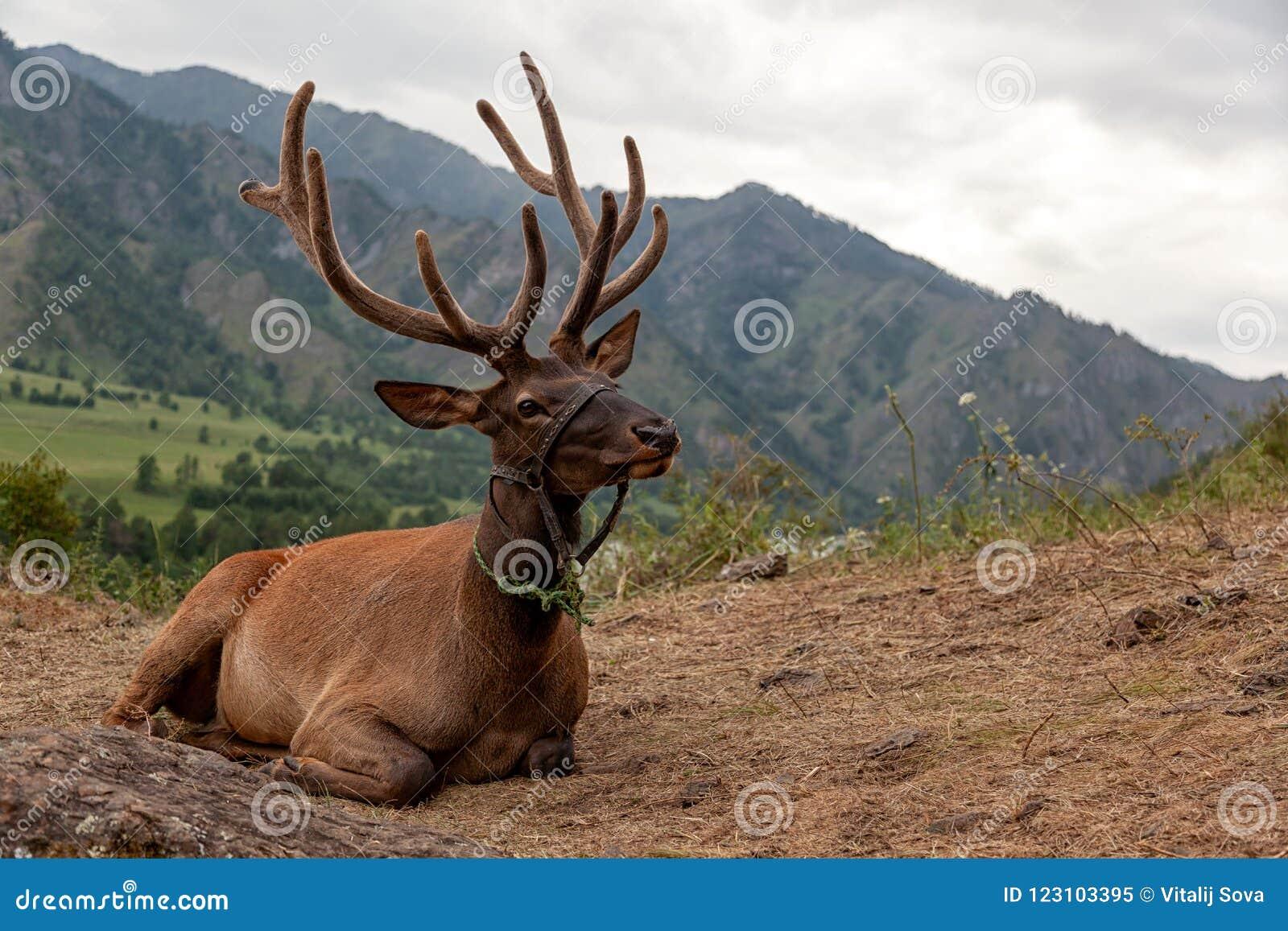 Plan rapproché d un beau cerf commun brun