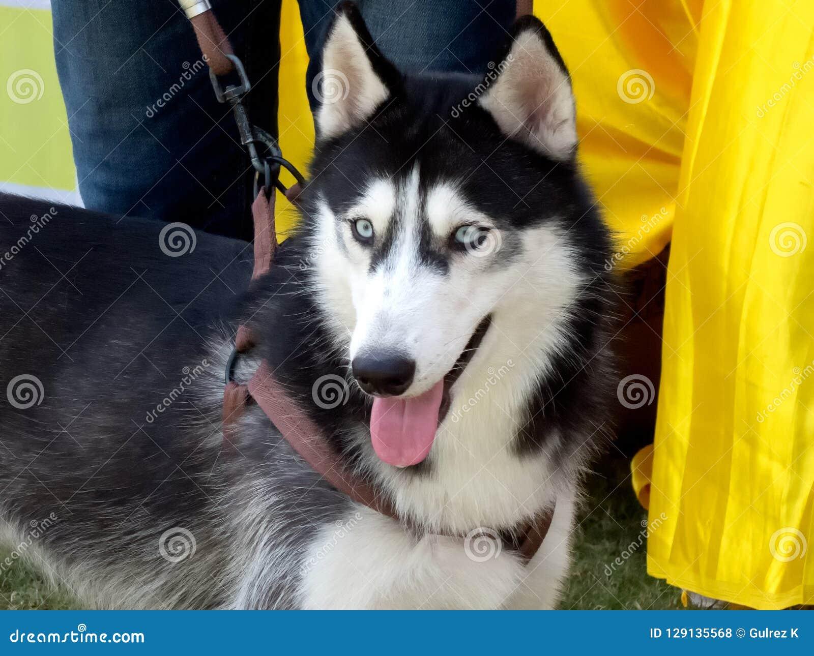 Plan rapproché d un beau Sibérien Husky Dog