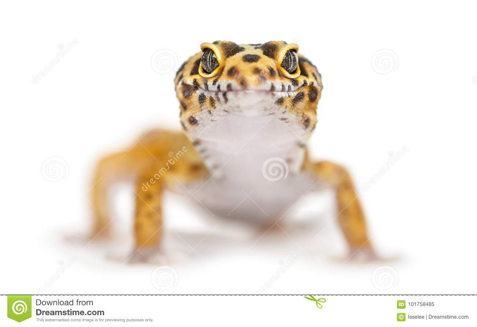 Plan rapproché d un gecko de léopard,