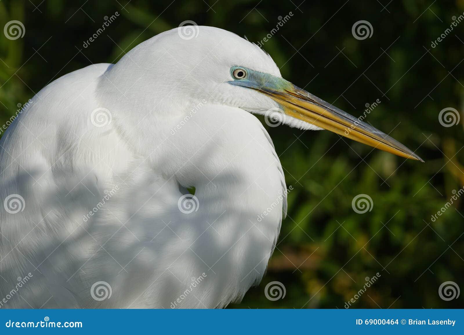 Plan rapproché d un grand héron dans le plumage d élevage - la Floride