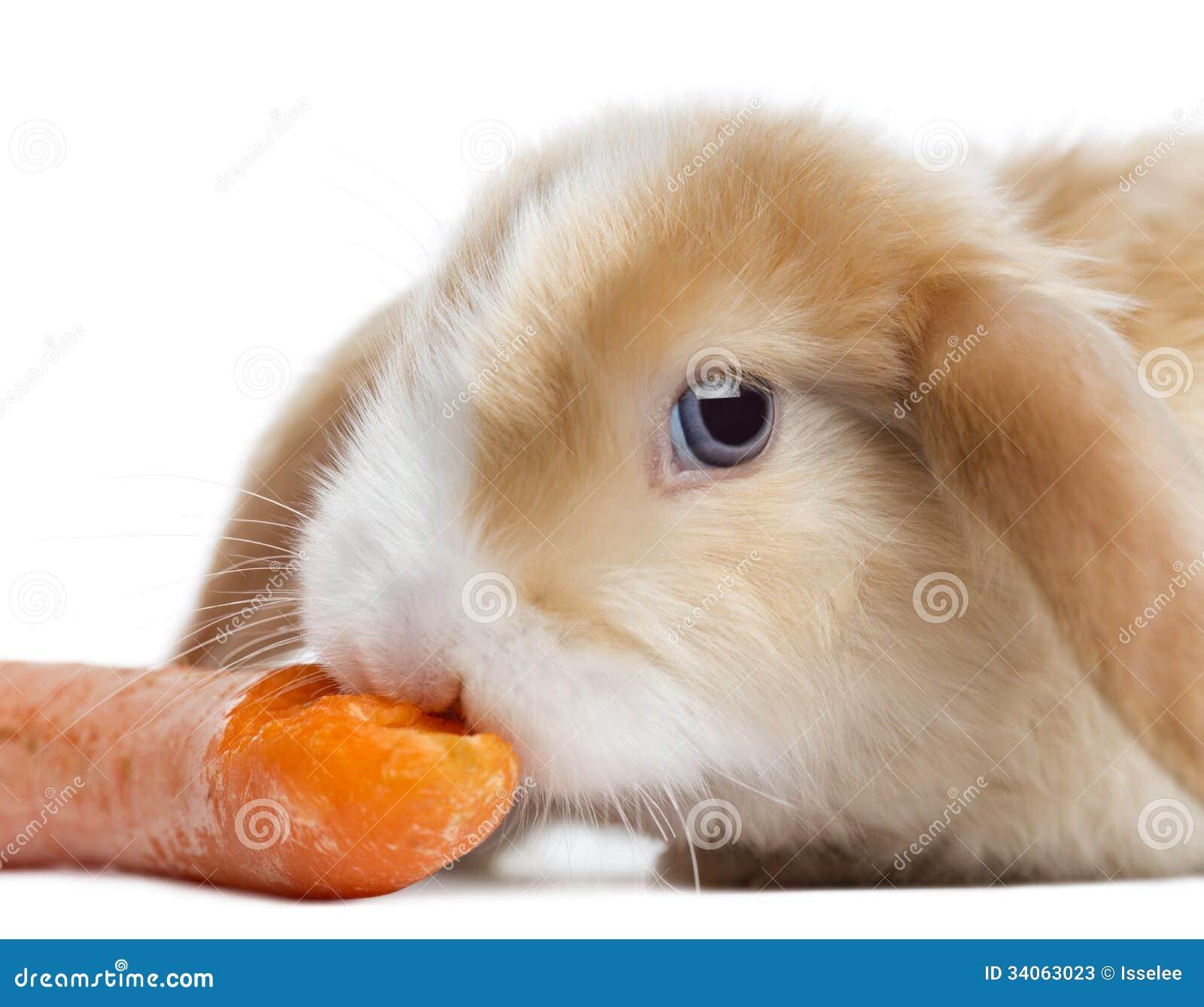 Plan rapproché d un lapin de Mini Lop de satin mangeant une carotte, d isolement