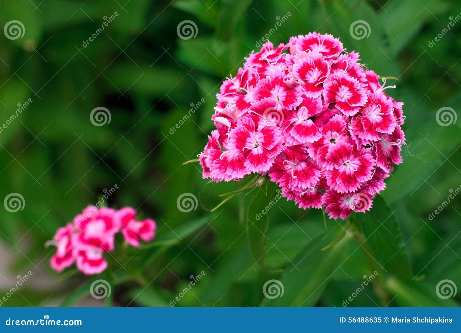 Plan rapproché d un oeillet rose lumineux dans un domaine