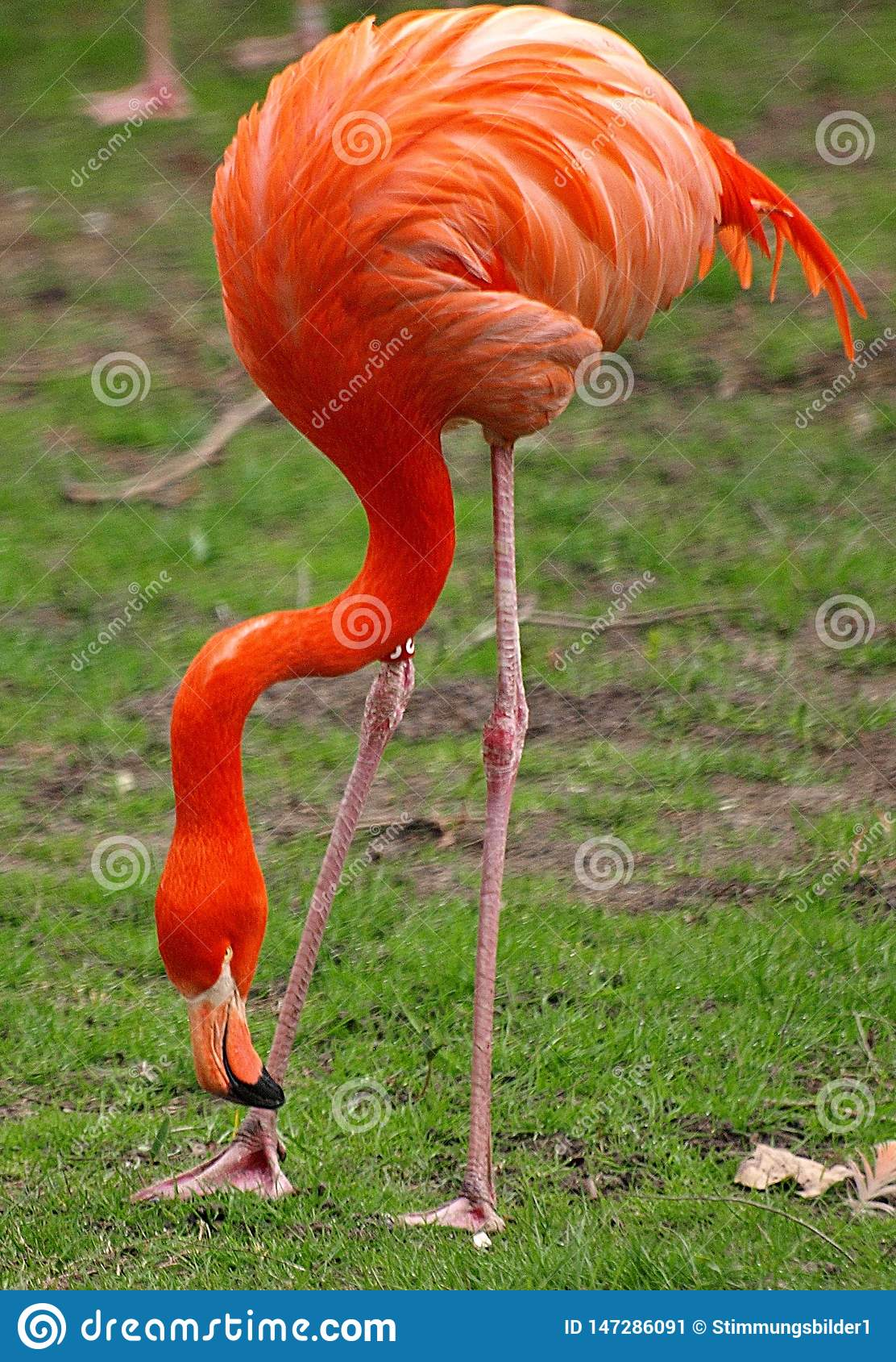 Plan rapproché d un oiseau rouge de flamant