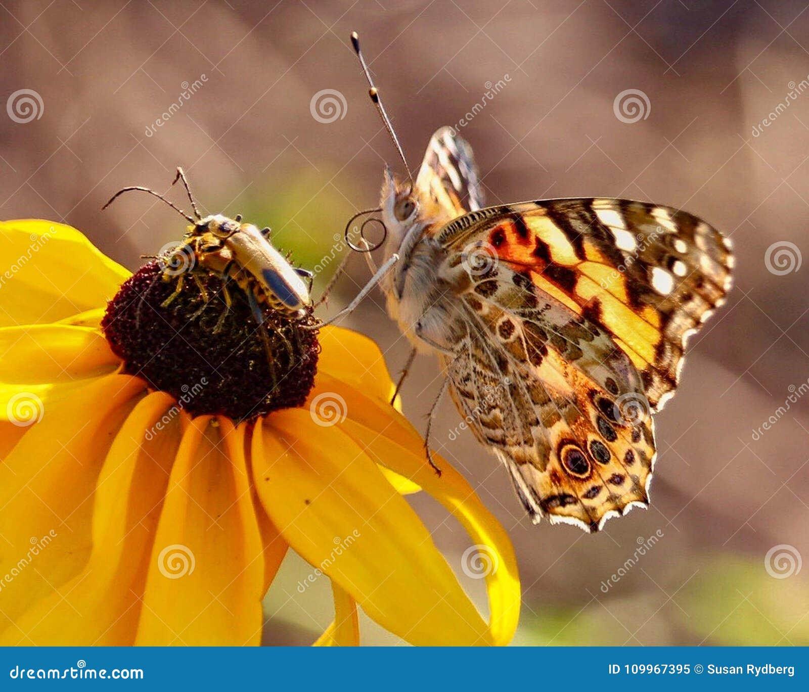 Plan rapproché d un papillon peint de Madame se reposant sur Susan Flower aux yeux bruns