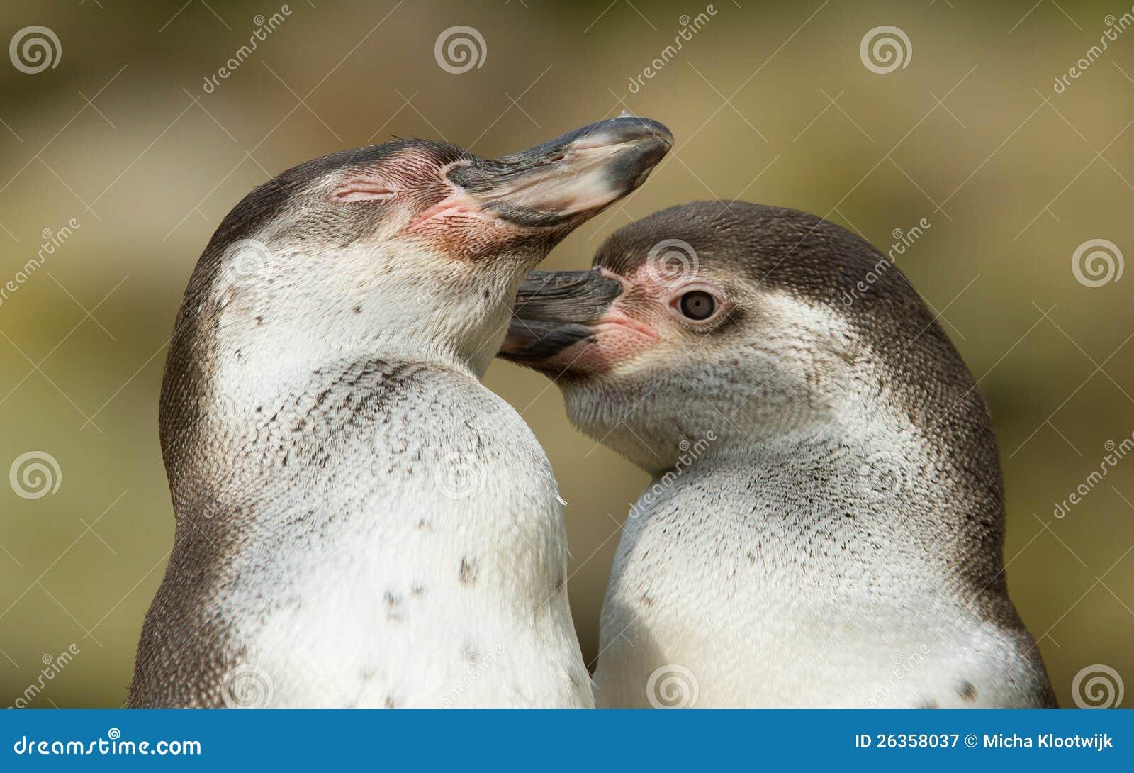 Plan rapproché d un pingouin de humboldt