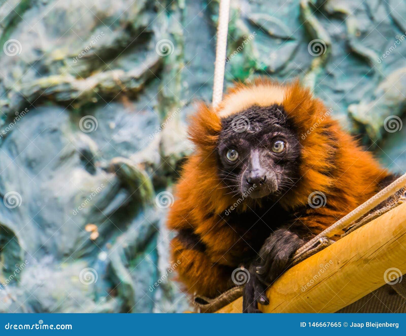 Plan rapproché d un singe ruffed rouge de lémur, primat tropical mignon du Madagascar, espèce animale en critique mise en danger