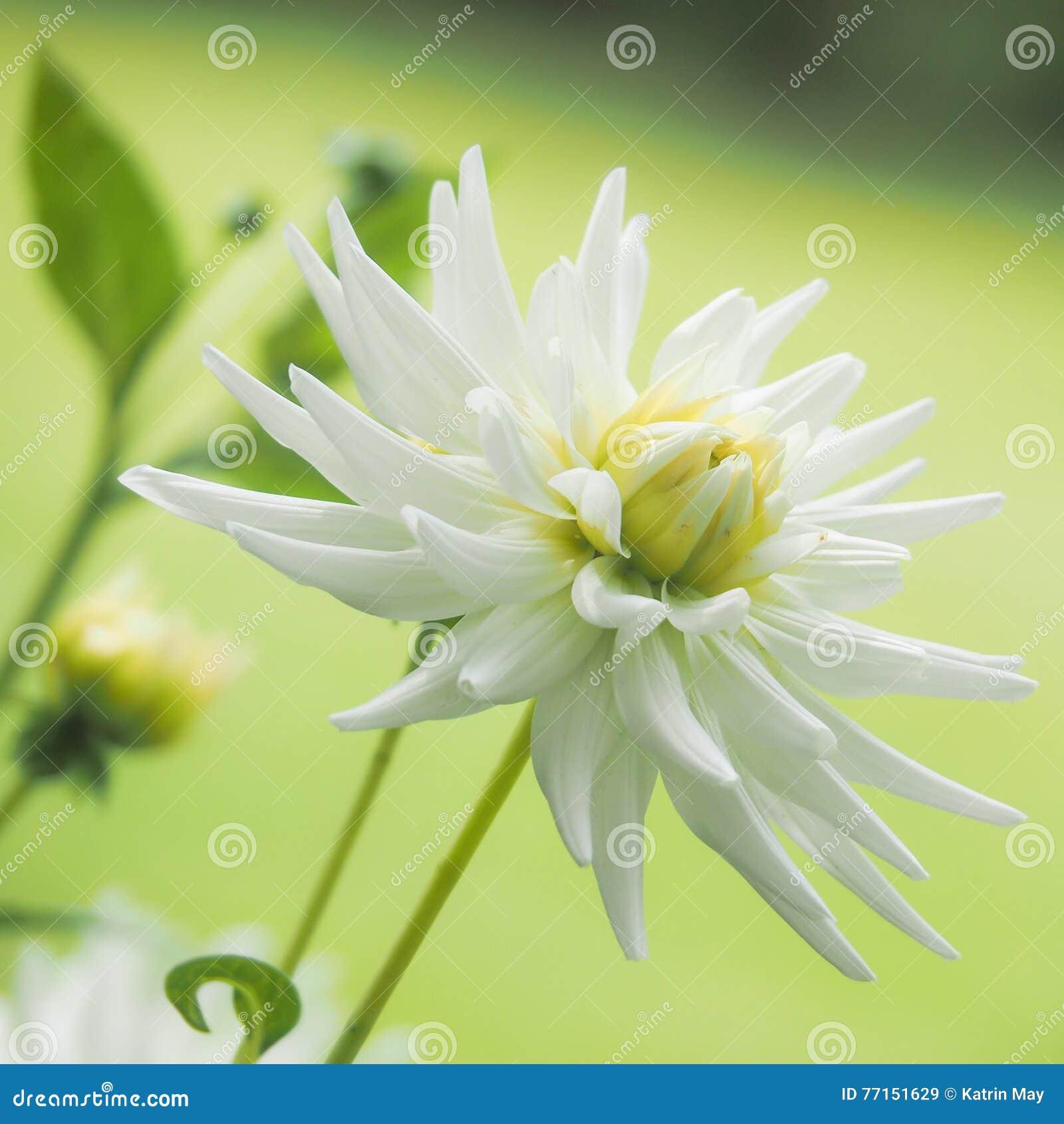 Plan rapproché d une fleur blanche de dahlia