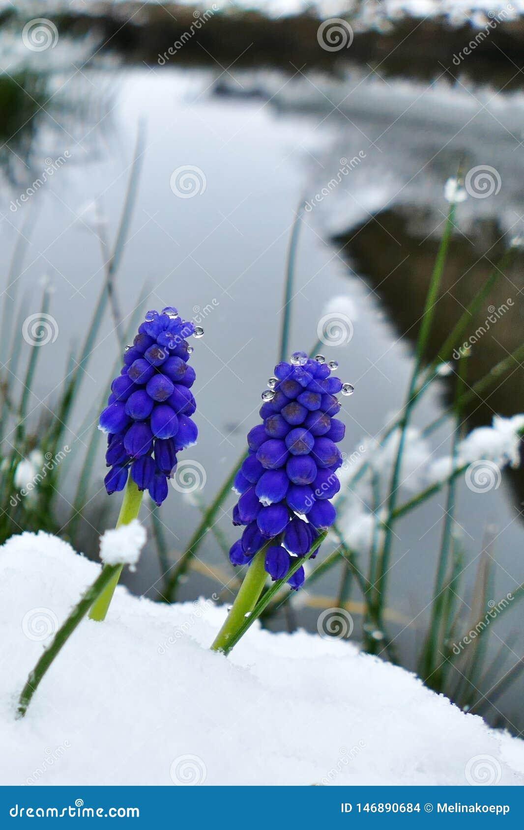 Plan rapproché d une fleur bleue de jacinthe de raisin couverte dans la neige