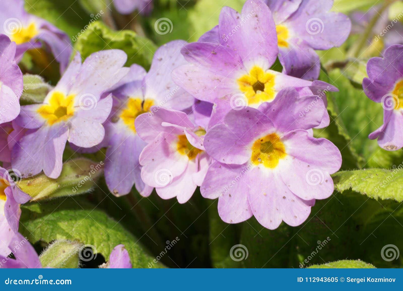 Plan Rapproché D\'une Fleur Mauve-clair Lumineuse Du Primul ...