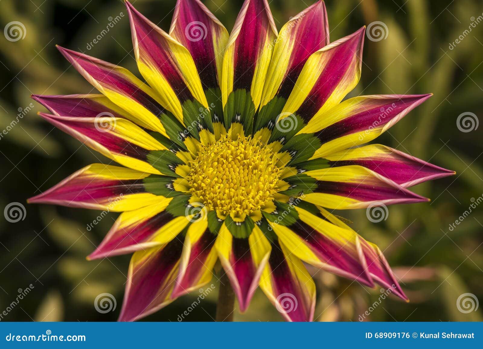 plan rapproch d 39 une fleur orange rose de gazania de couleur de vert jaune photo stock image. Black Bedroom Furniture Sets. Home Design Ideas