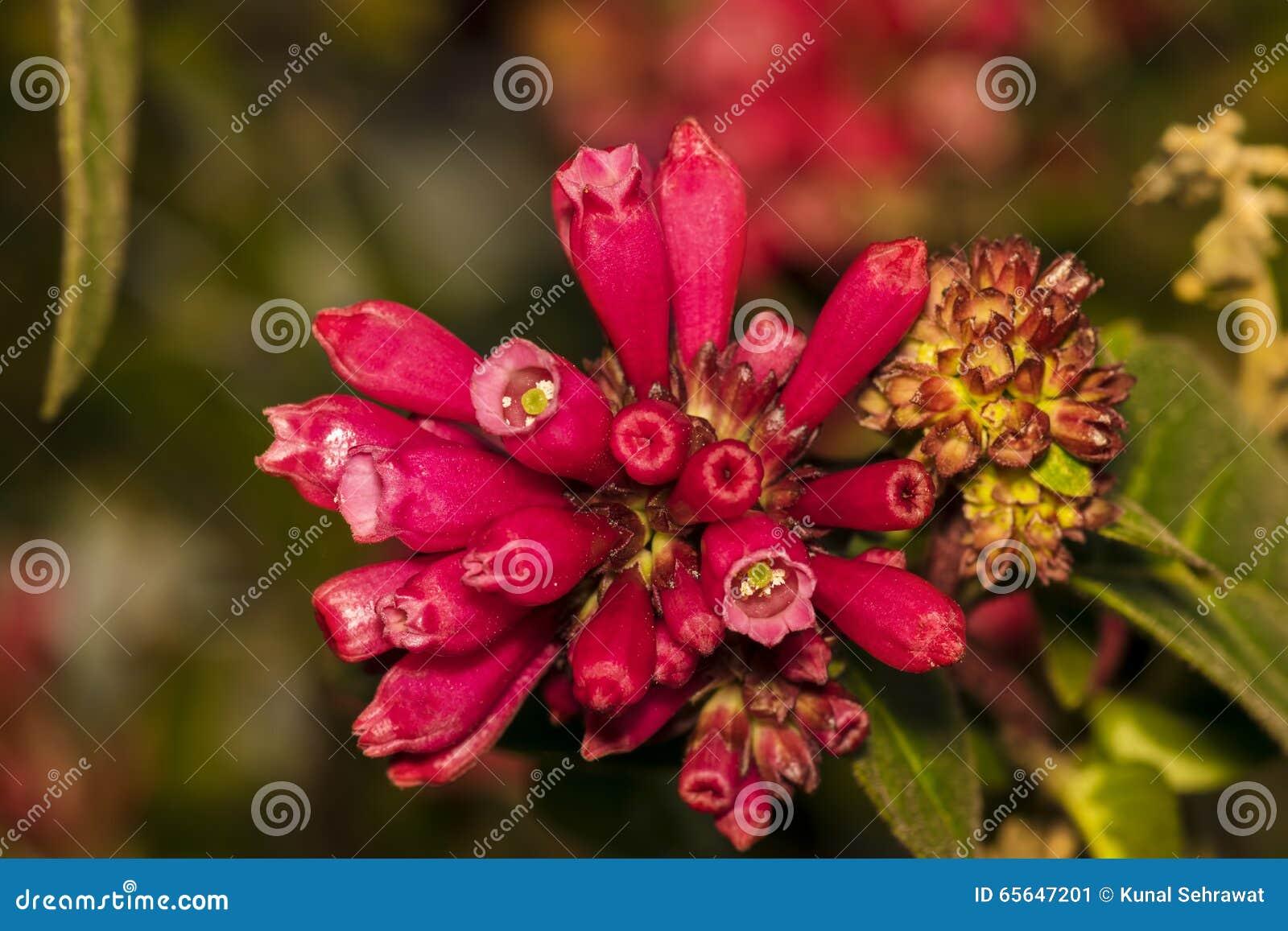 Plan rapproché d une fleur unbloomed par rose saisissant