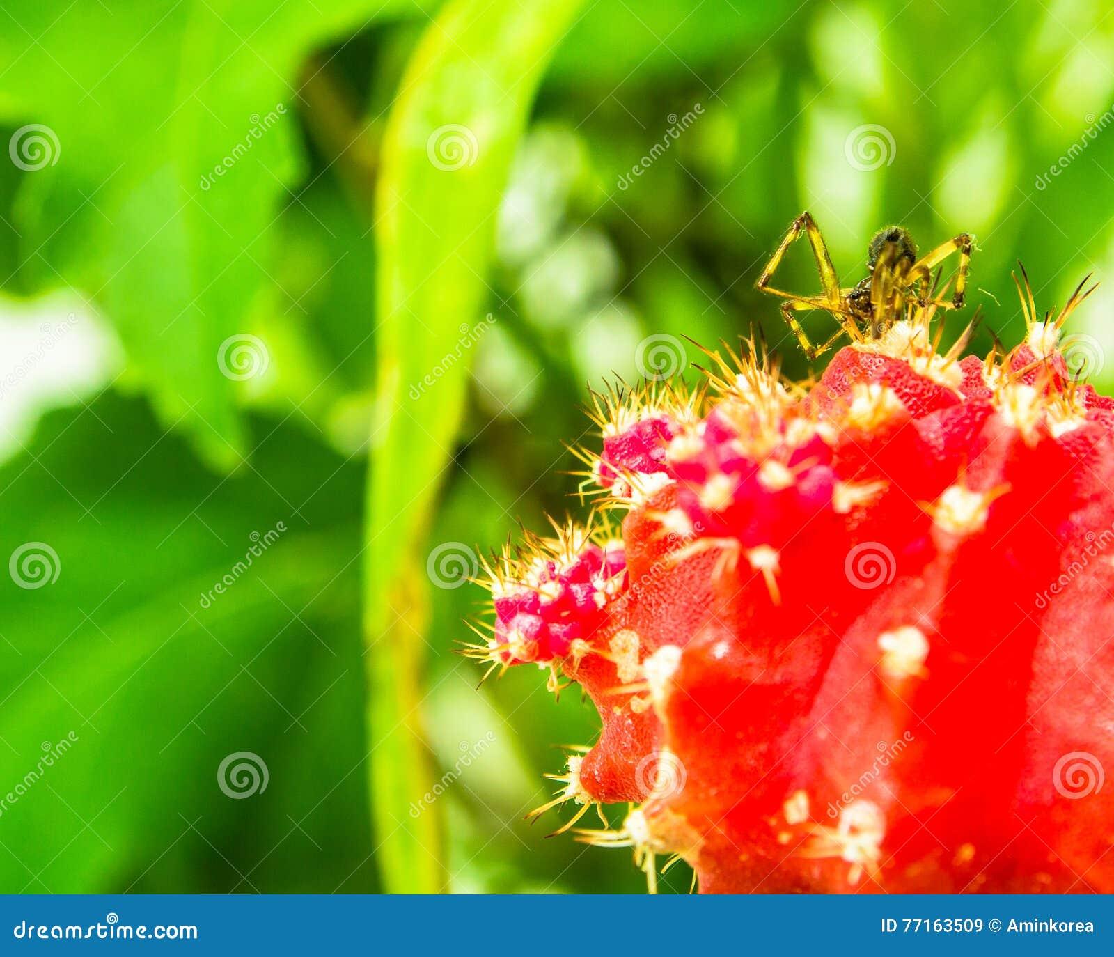 Plan rapproché d une petite araignée brune sur une usine rouge de cactus