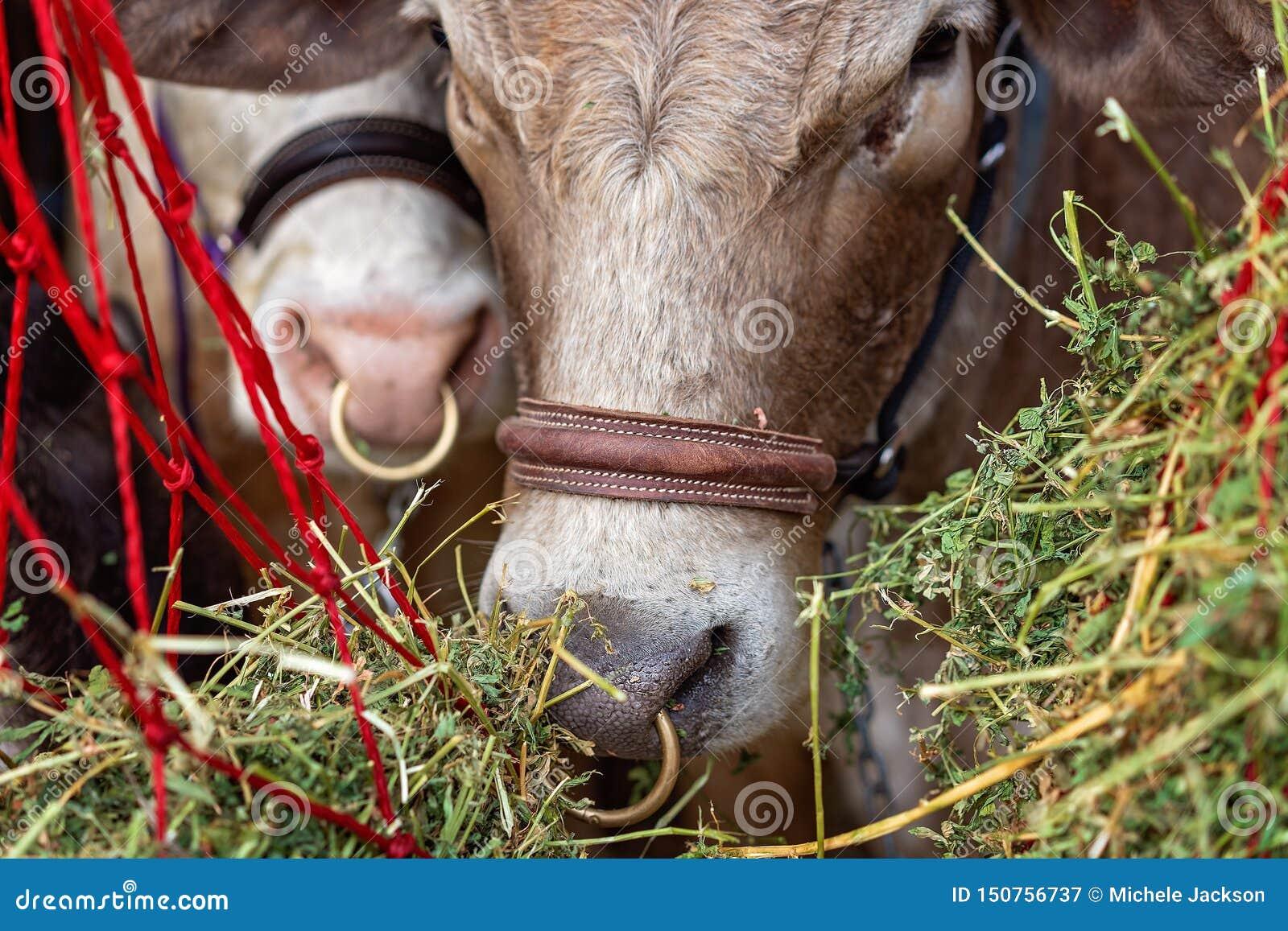 Plan rapproché d une vache à exposition avant d être jugé