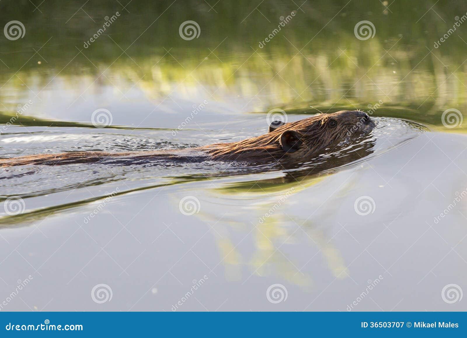 Plan rapproché de castor dans l eau