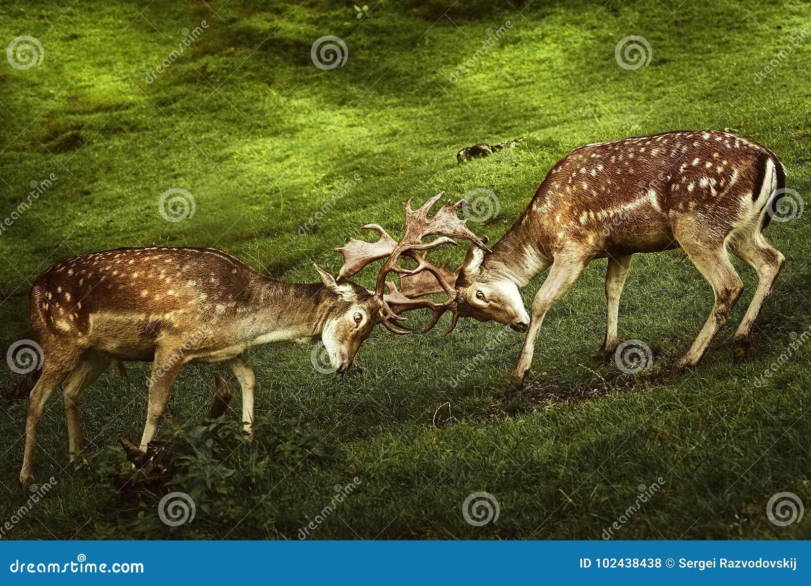 Plan rapproché de combat de cerfs communs
