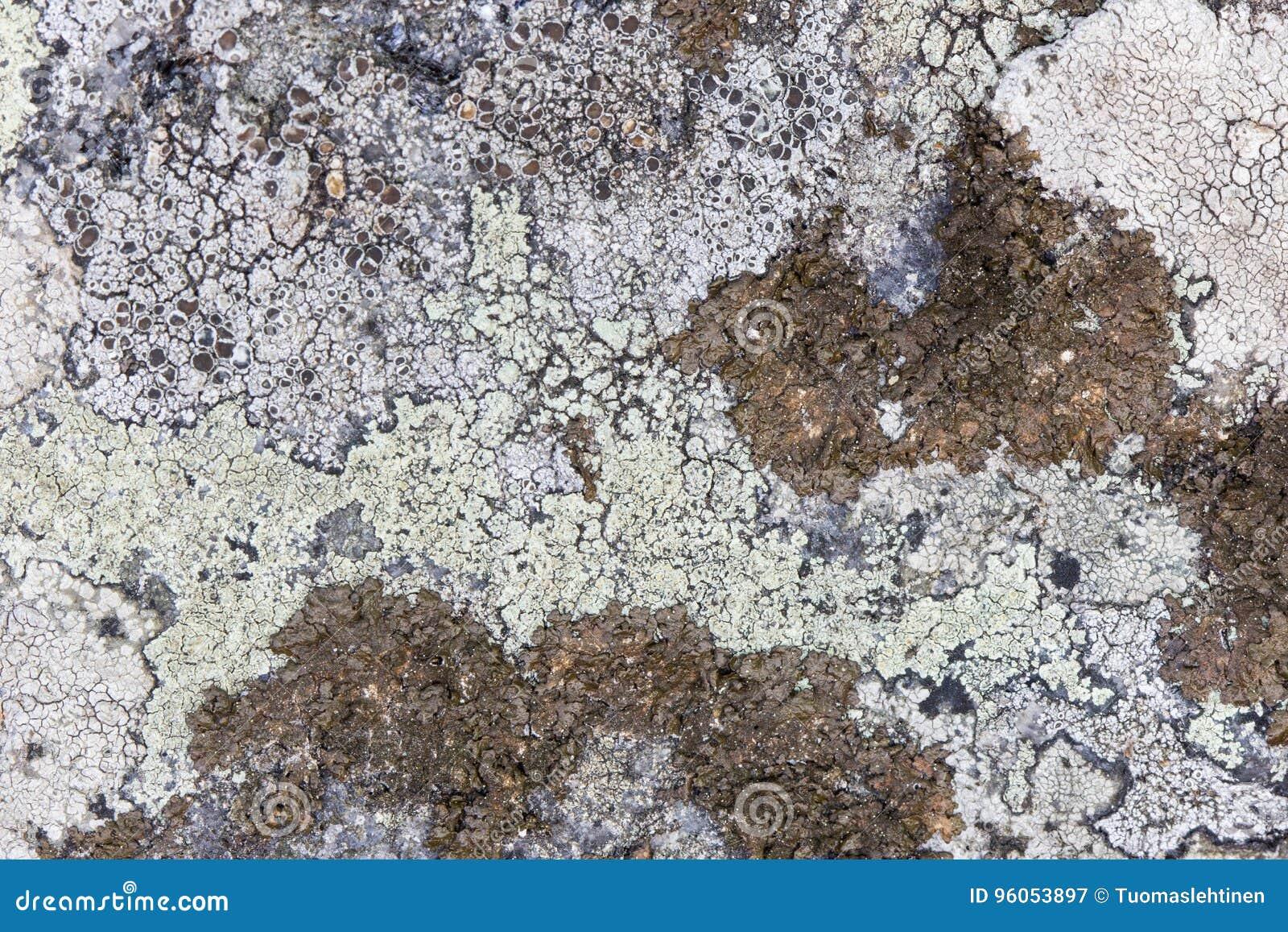 Plan rapproché de différents lichens sur une roche