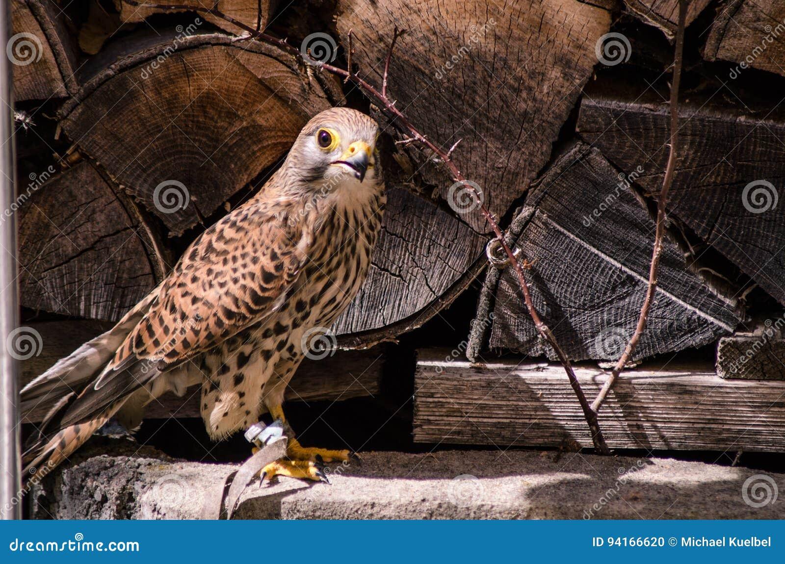Plan rapproché de faucon de crécerelle